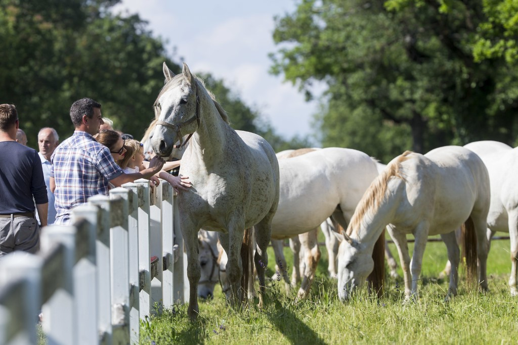MaroWays The thoroughbred white Lipizzaner horses in the equestrian park in Lipica
