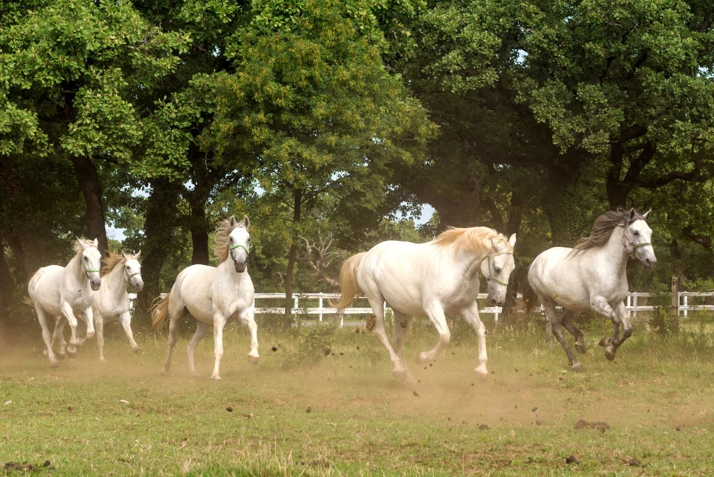 MaroWays White Lipizzaner horses in the equestrian park in Lipica with MaroWays
