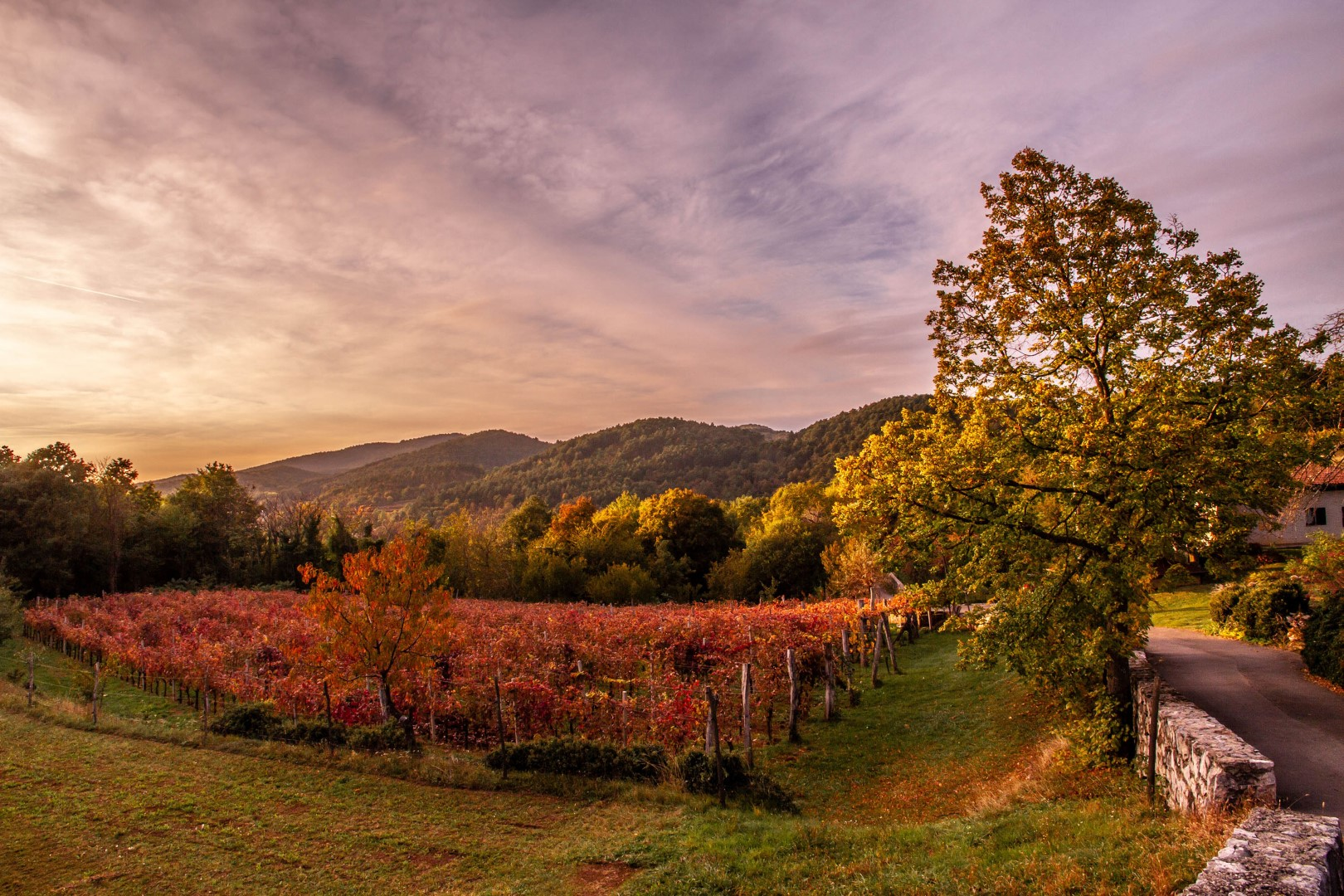 Vineyards in autumn on the Karst plateau